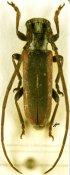 Eunidia thomseni ferrandii, ♂, Eunidiini, Somalia