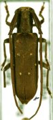 Eunidia thomseni guttata, ♀, Eunidiini, Kenya