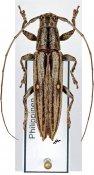 Ichthyodes biguttula biguttula, ♀, Apomecynini, Leyte
