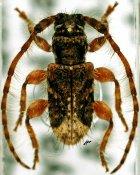 Sarillus pygmaeus, ♂, Apomecynini, Quintana Roo