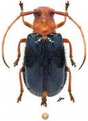 Bacchisa aulica, ♀, Astathini, Sulawesi