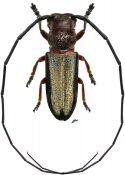 Bornestathes trusmadianus ♂, Astathini, Borneo