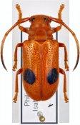 Tetraophthalmus perplexus, ♀, Astathini, Luzon