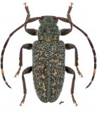 Euryestola cribrata, ♂, Calliini, Nicaragua