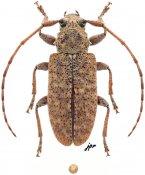 Paradrycothaea pilosicornis, ♀, Calliini, Quintana Roo