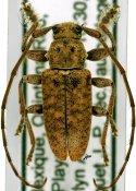 Paradrycothaea pilosicornis ♂, Calliini, Mexico