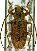 Paradrycothaea pilosicornis ♀, Calliini, Mexico