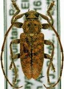 Paradrycothaea pilosicornis, ♂, Calliini, Quintana Roo