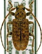 Paradrycothaea pilosicornis, ♀, Calliini, Mexico