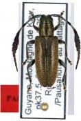 Hemicladus buqueti, paratype ♀, Calliini, French Guiana