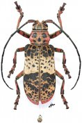 Ceroplesis adusta, ♀, Ceroplesini, Gabon