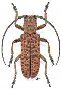 Cochliopalpus suturalis, ♂, Ceroplesini, Zambia