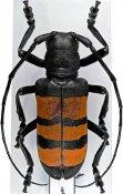 Diastocera trifasciata, ♀, Ceroplesini, Ivory Coast