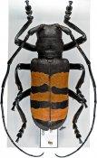 Diastocera trifasciata, ♂, Ceroplesini, Ivory Coast