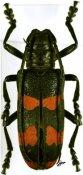 Ceroplesis aestuans ♀, Ceroplesini, Benin