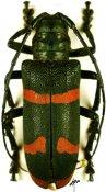 Ceroplesis aestuans ♀, Ceroplesini, Togo