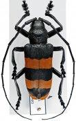 Ceroplesis analeptoides ♂, Ceroplesini, Ivory Coast