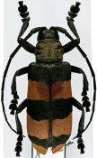 Ceroplesis aulica ♀, Ceroplesini, R. P. Congo