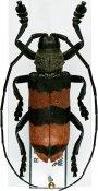 Ceroplesis aulica ♂, Ceroplesini, R. P. Congo