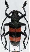 Ceroplesis bicincta ♂, Ceroplesini, R. D. Congo