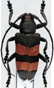 Ceroplesis bicincta ♀, Ceroplesini, R. P. Congo