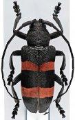 Ceroplesis bicincta ♀, Ceroplesini, R. D. Congo