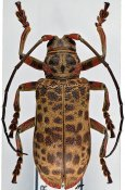 Ceroplesis blairi ♀, Ceroplesini, Central Africa R.