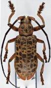 Ceroplesis blairi, ♂, Ceroplesini, Ivory Coast