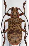 Ceroplesis blairi, ♀, Ceroplesini, Ivory Coast
