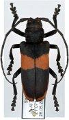 Ceroplesis elegans, ♀, Ceroplesini, Saudi Arabia