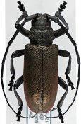 Ceroplesis ferrugator marginalis, ♂, Ceroplesini, Zimbabwe
