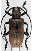 Ceroplesis ferrugator marginalis, ♀, Ceroplesini, South Africa