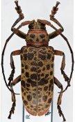 Ceroplesis molator ♀, Ceroplesini, Ivory Coast