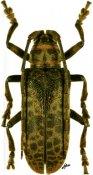 Ceroplesis molator ♀, Ceroplesini, Togo