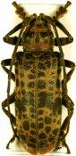 Ceroplesis molator ♀, Ceroplesini, Sierra Leone