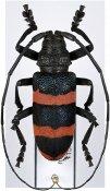 Ceroplesis orientalis ♂, Ceroplesini, Zambia