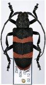 Ceroplesis orientalis, ♀, Ceroplesini, Zimbabwe