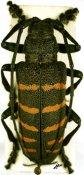 Ceroplesis quinquefasciata quinquefasciata ♂, Ceroplesini, Central Africa R.