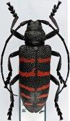 Ceroplesis quinquefasciata quinquefasciata ♀, Ceroplesini, Central Africa R.