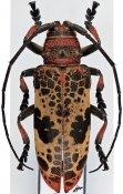Ceroplesis reticulata ♀, Ceroplesini, R. D. Congo