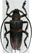 Ceroplesis semitrabeata ♀, Ceroplesini, Tanzania