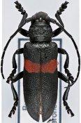 Ceroplesis signata, ♀, Ceroplesini, Burundi
