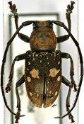 Gnathoenia alboplagiata, ♂, Ceroplesini, R. P. Congo
