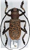 Paranaleptes reticulata ♂, Ceroplesini, Tanzania