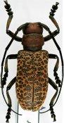 Paranaleptes reticulata, ♀, Ceroplesini, Kenya