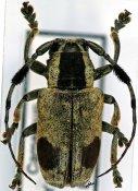 Pterotragus lugens, ♂, Ceroplesini, Cameroon