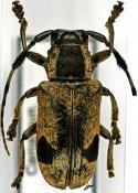 Pterotragus lugens, ♀, Ceroplesini, Cameroon