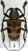 Pycnopsis brachyptera brachyptera, ♂, Ceroplesini, Zimbabwe