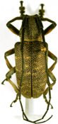Titoceres jaspideus, ♂, Ceroplesini, Somalia