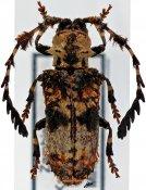 Cloniocerus kraussii ♀, Cloniocerini, Zambia